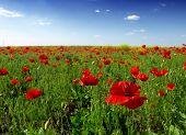 image of nubian  - red poppy flowers - JPG