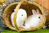 image of tawdry  - Two white rabbits in basket against trumpery - JPG