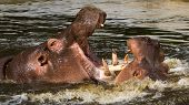 picture of hippopotamus  - Two fighting hippos in the water  - JPG