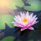 foto of ponds  - Beautiful waterlily or lotus flower in pond - JPG