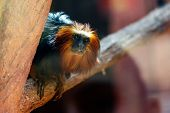 stock photo of titi monkey  - Black monkey titi leon or golden - JPG