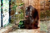 foto of marmosets  - Monkey dril sitting in the zoo cell - JPG