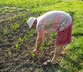 picture of hoe  - Farmer hoeing vegetable garden in springtime - JPG