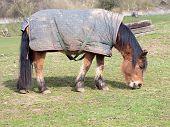stock photo of pony  - Pony covered with a blanket grazes on grass in a field - JPG