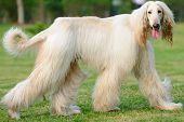 image of hirsutes  - An afghan hound dog walking on the lawn - JPG