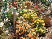 picture of fynbos  - Arrangement of various species of protea flowers  - JPG