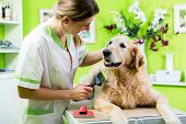 Woman getting Golden Retriever fur care at dog parlour  poster