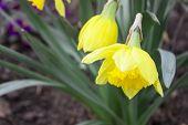 Spring Field Flowers Landscape With Bright Orange Flowers Of Spring Narcissus Under Sunset Light. Se poster