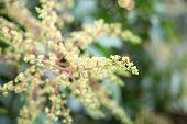 Mango Flower, A Branch Of Inflorescence Mango Flower. poster