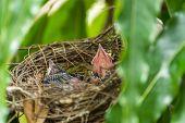 Bird (streak-eared Bulbul) And Baby In Nest poster