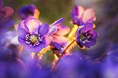 Pennywort Blossom. Blooming Liverwort Flower And Blue Petals. Kidneywort In Natural Environment. Hep poster