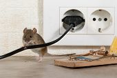 Closeup Mouse Stands Behind Chewed Wire  Near Mousetrap And Electrical Outlet In An Apartment Kitche poster
