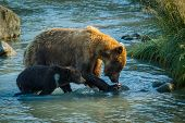 Mama Bear With Her Little Cub Fishing In Chilkat River In Haines In Alaska, Amazing Bear-watching Ex poster