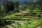 Bali Rice Terraces. Rice Fields Of Jatiluwih. The Graphic Lines And Verdant Green Fields. Some Of Th poster