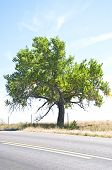 pic of cottonwood  - Lonely old Cottonwood tree by the side of a rural highway - JPG