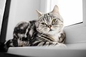 British Cat Brindle Sitting At The Window. The Breed Characteristics And Care Of Breed. poster