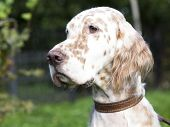 picture of english setter  - English  Setter dog breed - JPG