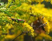 stock photo of goldenrod  - A lime - JPG