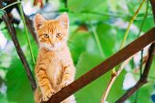 Cute Tabby Red Ginger Cat Sitting In Garden. Grass Outdoor In Sunny Summer Evening. poster