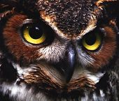 Great Horned Owl Up Close poster