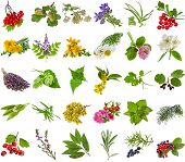 Fresh medicinal  aromatic and culinary herbs, leaves, berries, plant, flowers - collection  isolated