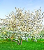 stock photo of apple tree  - white blossom of apple trees in springtime - JPG