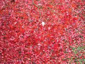 Red Autumn Leaves Texture Background poster