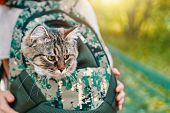 Tabby Cat In A Bag. The Cat Went For A Walk In His Travel Bag. poster