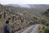 Man Along A Forest Of Frailejones, An Endangered And Protected Flora In The Nevado Del Ruiz National poster