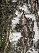 The Bark Of An Old Birch With An Uneven Surface. Birch Bark Is Stratified In Some Places. Uneven Gra poster