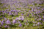 Purple Crocus Flowers Meadow Scene. Crocus Meadow Flowers. Purple Crocus Flowers. Purple Crocus Flow poster