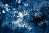 Fir Branches Classic Blue Spruce. Close Up. Branches Of Classic Blue Spruce. Winter Nature. Spruce N poster