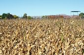 foto of maize  - Drought affected maize crop in New Zealand - JPG