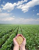 foto of soybeans  - Human hand holding soybean with field in background - JPG