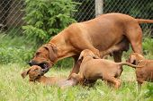 stock photo of bitches  - Rhodesian ridgeback bitch educating a little puppy by playing with it - JPG