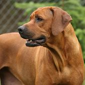 picture of bitch  - Rhodesian ridgeback bitch in front of one tree - JPG