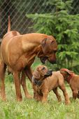 stock photo of bitch  - Rhodesian ridgeback bitch playing with puppies all around - JPG