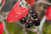 pic of chokeberry  - Black chokeberry  - JPG