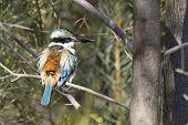 picture of kookaburra  - A Kookaburra standing in a tree in Australia - JPG