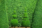 image of chateau  - Closeup of conical hedges lines from Versailles Chateau - JPG