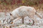 Blonde Wolf (Canis Lupus) Sniffs Left In Early Autumn Snowfall