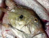 foto of dory  - John Dory fish on the pile of fresh fish prepared to become delicious fish stew - JPG