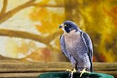 stock photo of falcons  - Peregrine Falcon bird of prey sitting on a perch - JPG