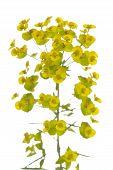 stock photo of meadowsweet  - single flower  - JPG