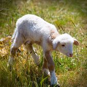 stock photo of spring lambs  - Baby lamb newborn sheep standing walking on green grass field - JPG