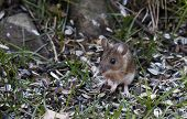 image of field mouse  - a garden or field mouse sitting down amongst sunflower seeds - JPG