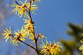 image of early spring  - Hamamelis japonica. Flowering in early spring in Japan.