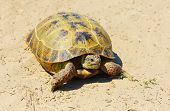 picture of creeping  - Asian turtle creeps on sand - JPG