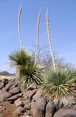 picture of xeriscape  - sotol patch in desert - JPG