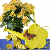 picture of begonias  - Beautiful yellow Begonia potted plant gift with yellow flowers with Springtime yellow daisy watering can and butterfly - JPG